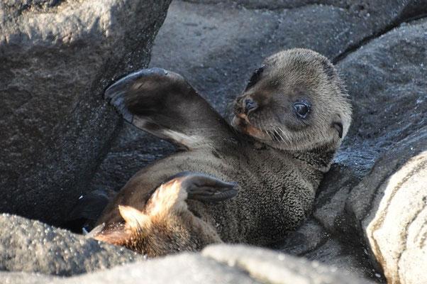 Selöwenbaby wartet auf seine Mutter