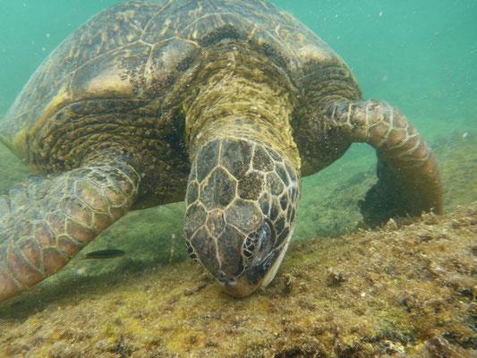 Riesige Meeresschildkröte am Essen