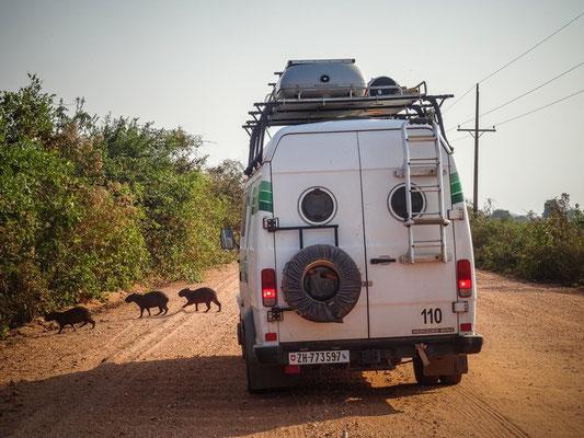 Wasserschweine kreuzen mehrmals unseren Weg