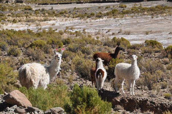 Die Lamas sind mit Bändern markiert