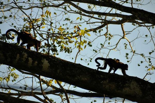 Zwei Affenmütter bei Sonnenuntergang