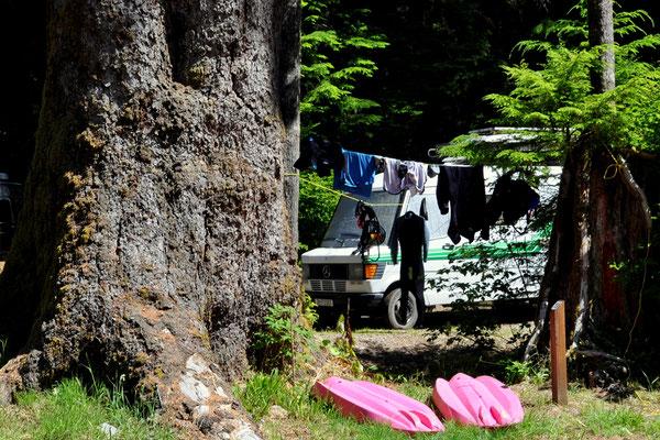 Wir campen neben einem 800 Jahre alten Baum!
