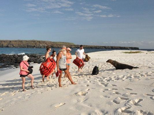 Der Seelöwe will nun ins Wasser - Die Menschen interessieren ihn nicht!