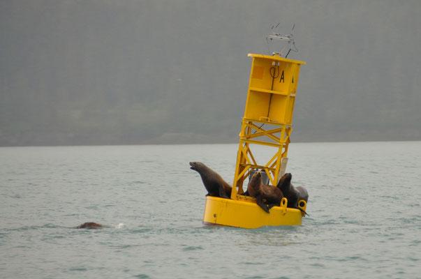 Seelöwen ruhen sich auf einer Boje aus