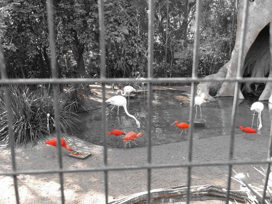 Ibisse im Vogelpark