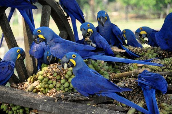 Die Aras werden auf der Fazenda Santa Clara gefüttert...