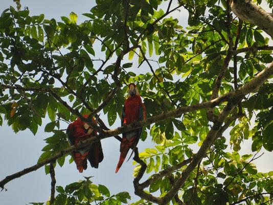 Aras im Baum