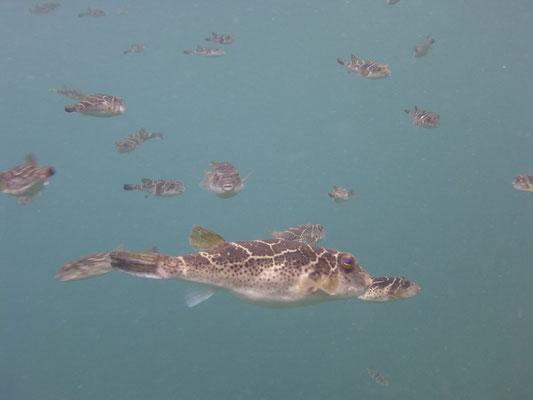 Kofferfische überall im Meer wo du nur hinsiehst