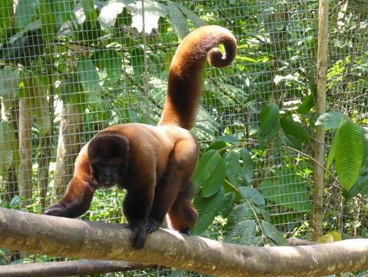 Affen vom Schwarzmarkt