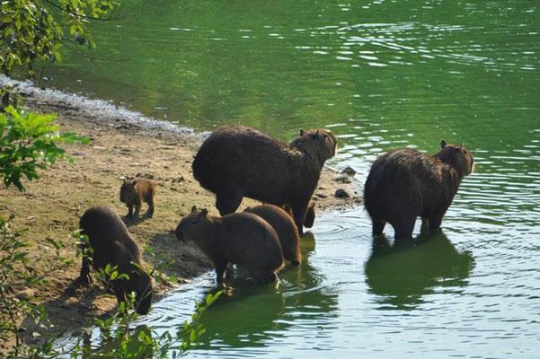Wasserschweinfamilie überquert einen Tümpel