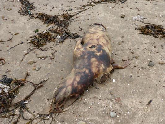 Ein toter Seelöwe verbreitet Gestank