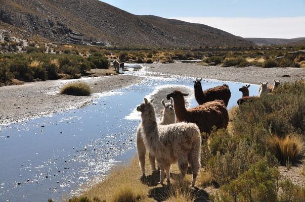 Lamas werden von der Andenbevölkerung gehalten