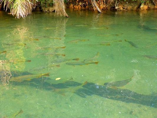 Überall im Fluss tummeln sich grosse Fische