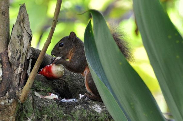 Das Eichhörnchen ist eine Blüte