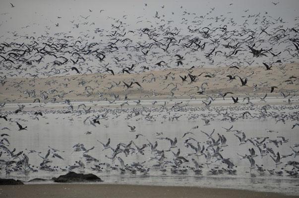 Tausende von Vögel bevölkern den Strand