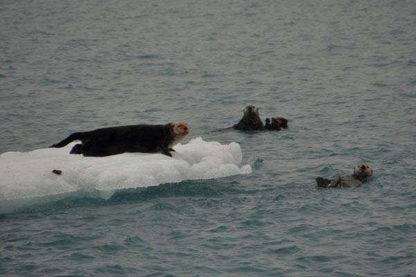 Fischotter ruhen sich auf einer Eisscholle aus