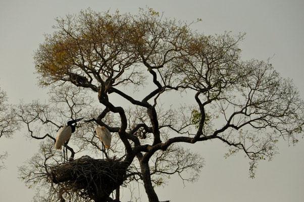 Der grösste Storch im Nest