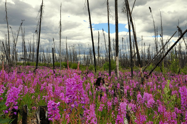 Neues Leben auf einer Waldbrandfläche
