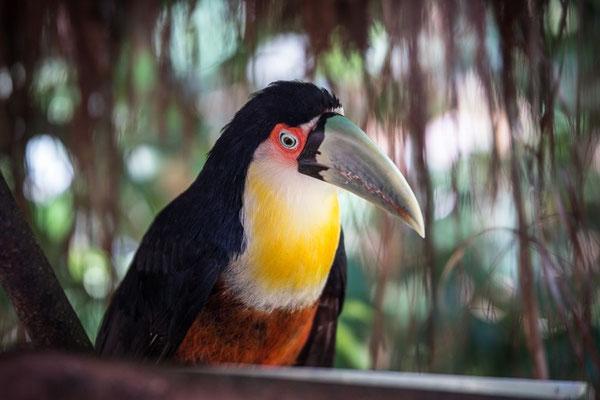 Ein seltener Tukan