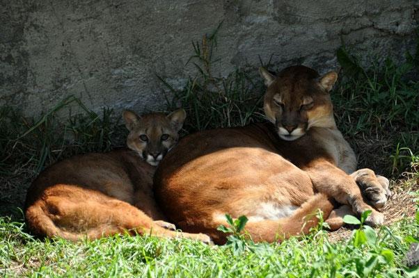 Der Puma - den haben wir leider bis jetzt nur im Zoo gesehen