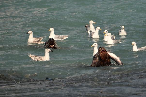Ein gefundenes Fressen für die Seelöwen