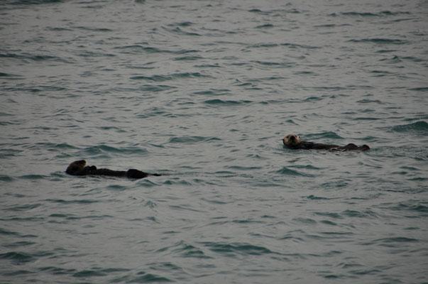 Fischotter tummeln sich in der Bucht vor Valdez