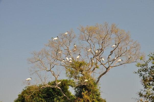 Unzählige Störche auf dem Baum