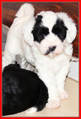 Tibet Terrier Welpe, Hündin