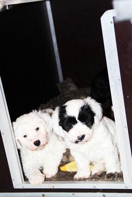 Tibet Terrier Welpen, 6 Wochen alt
