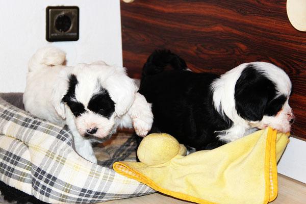 Unsere 6 Wochen alten Tibet Terrier Welpen
