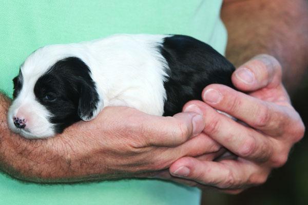 Hündin_schwarz-weiß, großer weißer Kragen, weiße Beine, weiße Rutenspitze