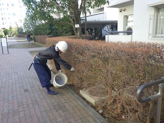 低木類への施肥作業。
