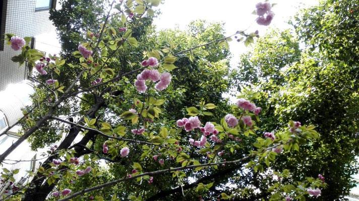今日は蒸す。 明後日は30℃近くになる。 上海の春と秋は短い。 いつの間にか花が咲いてた。
