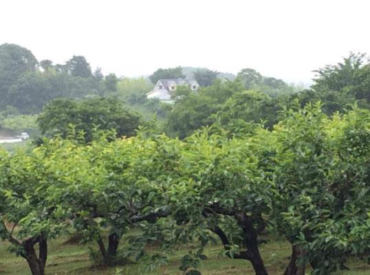 川崎市麻生区。義経支援の熊野在住武士団の拠点だった土塁に囲まれた場所は、広大な果樹園の中にある洋館。
