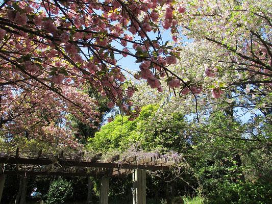 菅さくら公園で休憩  八重桜と藤がきれいでした。