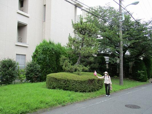 お茶屋の松   一説には、かつてここに茶屋があったとか。   枝ぶりの立派な黒松の大木で、昭和50年代まで存在したそうです。    万願寺の一里塚からちょうど一里程の所にあることから、一里塚だったとも考えられます。