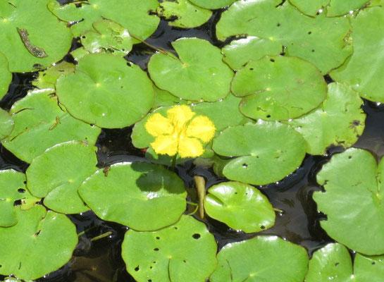 アサザ池  池には多年生の水草の「あさざ」が、初夏に黄色い可憐な花を水面に浮かせて咲きます。