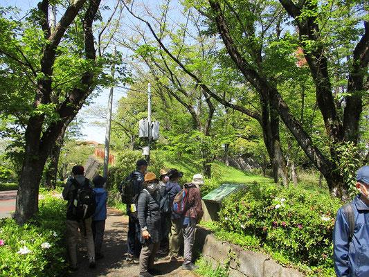 一本杉公園のスダジイ   このスダジイは高さ16m、幹周り3.6m、枝張り11mの大木で、多摩市の天然記念物に指定されています。