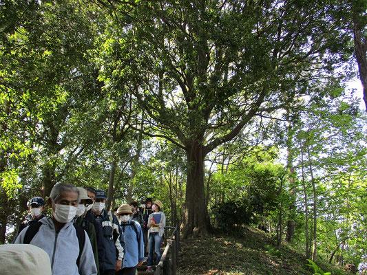 妙櫻寺手前を上がった頂上付近にある「シラカシの大木」