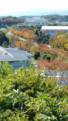 「よこやまの道」の下を平行して通る尾根幹線道路添いの木々も紅葉しています。 この道は、オリンピックのロードバイクコースです。山中湖を抜けゴールは富士スピードウェイです。