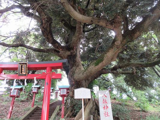 八坂神社の御神木「スダジイ」(ブナ科) (多摩市指定天然記念物) 目通り 3.2メートル 高さ  17メートル   幹の穴に白蛇が住んでいるという伝説があります。