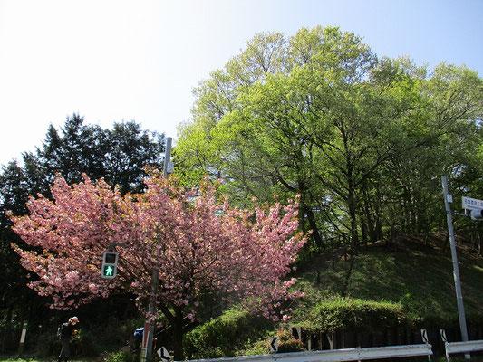 多摩清掃工場付近の八重桜    桜の桃色?と新緑の緑が合っていて綺麗。