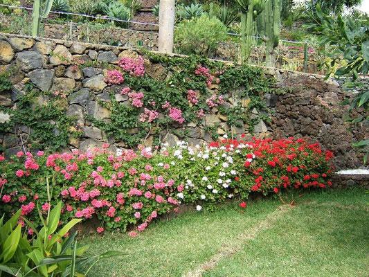 Wunderschöne Geranien und Bouganvilla gegenüber der Terrasse des Romantico