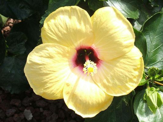 Eine wunderschöne Hibiscus-Blüte auf der Finca