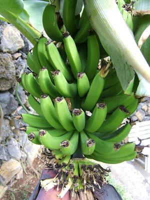 Bananen kurz vor ihrer Reife
