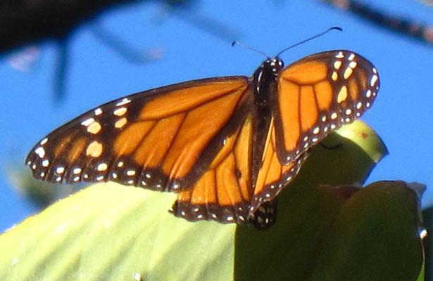 Monarch-Falter