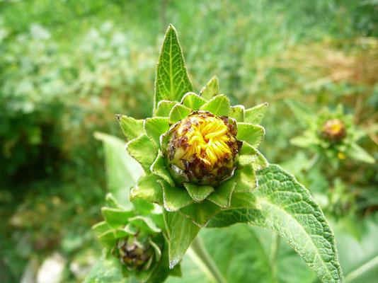 erste Alantblüte