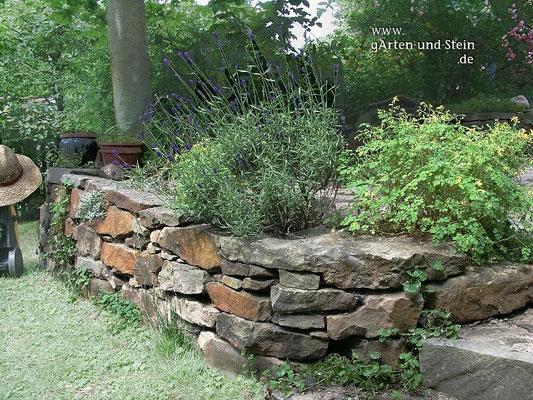 Trockenmauer mit Lavendel und Corydalis