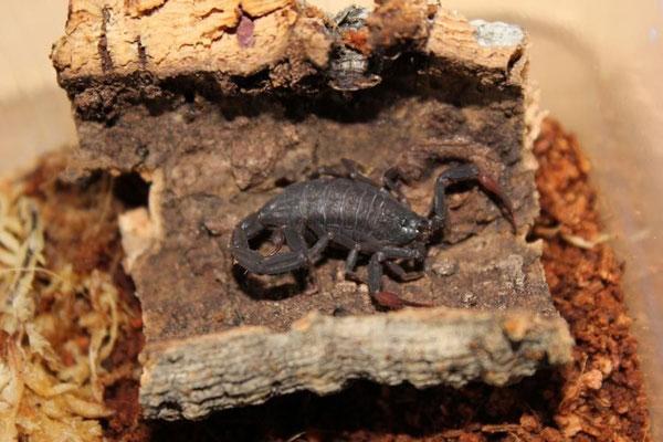 Centruroides gracilis dark morph instar IV