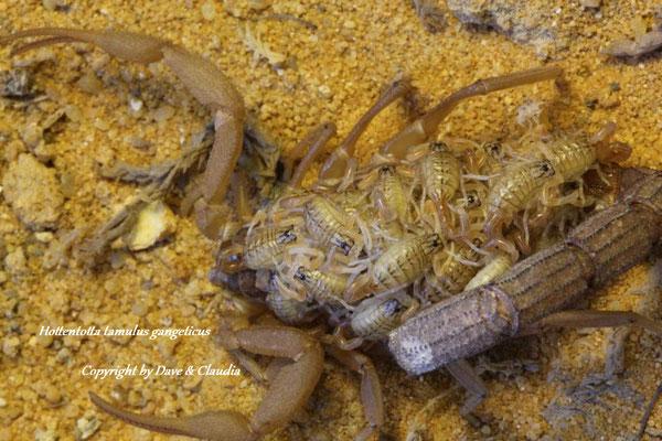 Hottentotta tamulus gangeticus mit Nachzuchten